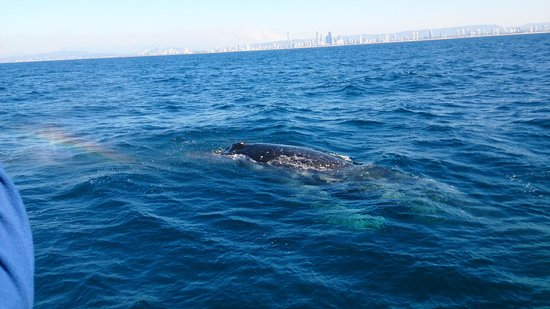 Spirit of Gold Coast Whale Watching: humpback whale