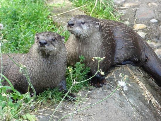Buckfast Butterfly Farm and Dartmoor Otter Sanctuary: otters