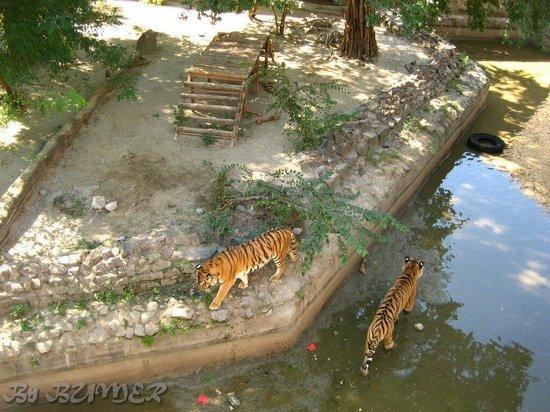 Mykolayiv, Ukraina: Тигры