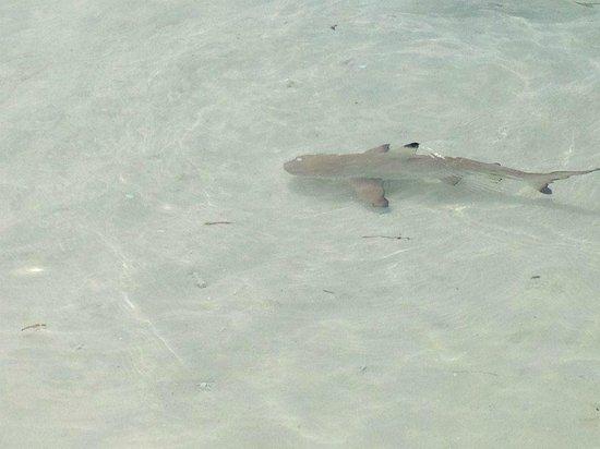 Kuredu Island Resort & Spa: Baby shark