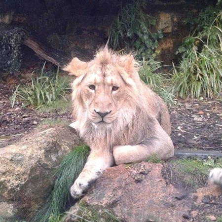 Bristol Zoo Gardens: Lion!