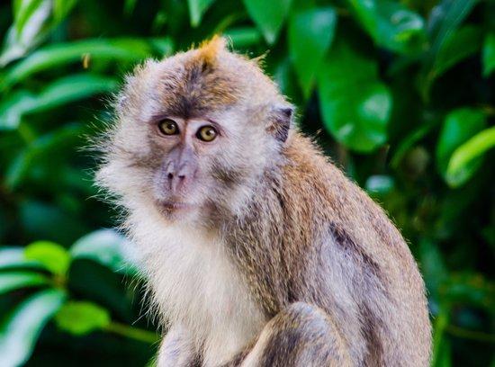 Berjaya Langkawi Resort - Malaysia : Long Tailed Macaque on our balcony