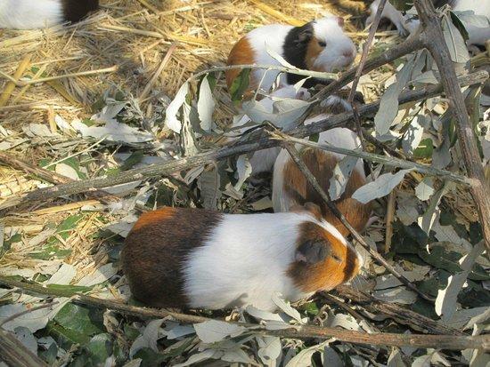 Flag Animal Farm : Guinea's
