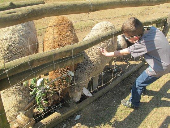 Flag Animal Farm : Sheep