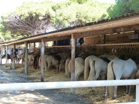 Mas de l'Espiguette : les chevaux