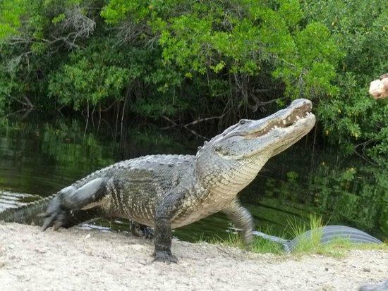 Jungle Erv's Everglades Airboat Tours: De begeleider wist de alligators te vinden en uit het water te krijgen...