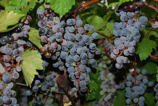 Buckingham, Пенсильвания: Red grapes on vine