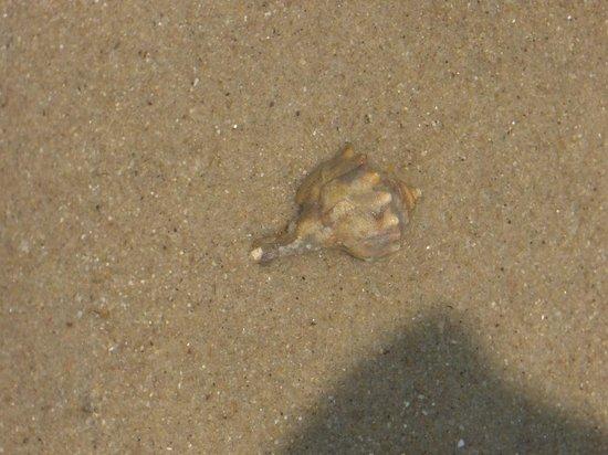 Seashell Lewes Beach