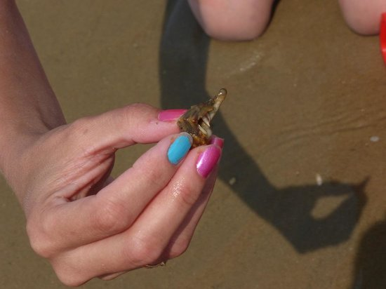 Hermit Crab in Seashell Lewes Beach