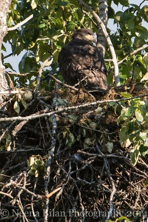 Bear Lake Lodgings B&B: Young Eagles in nest2