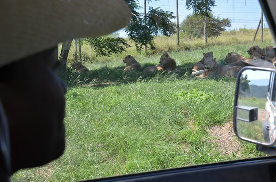 Zulu Safaris: Lion Park