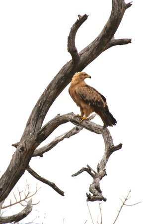 Kambaku River Sands: Tawny Eagle