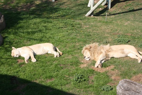 Cango Wildlife Ranch: White Lions