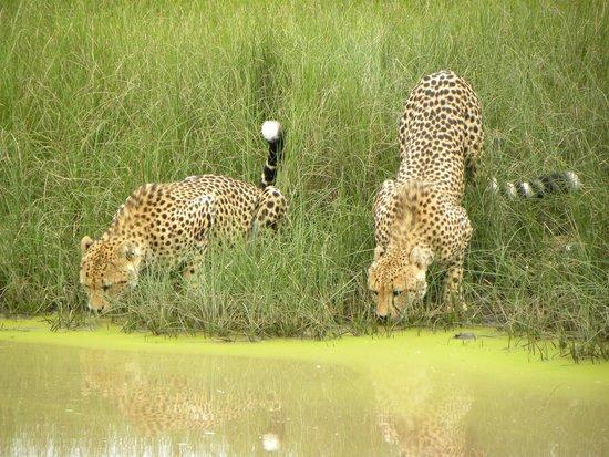 Amakhala Safari Lodge: Cheetah