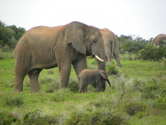 Amakhala Safari Lodge: Elephant