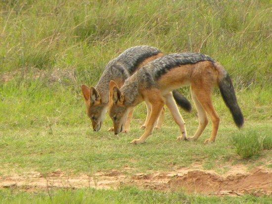 Amakhala Safari Lodge: Jackal