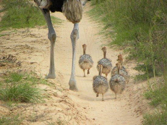 Amakhala Safari Lodge: Ostrich chicks