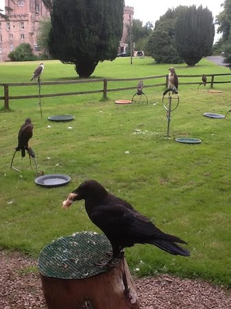 Dalhousie Castle Falconry Jake A Celebrity He S Been On T V And In Movies