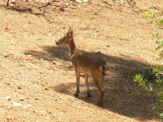 Parque Natural Sierra de Cazorla: Cabra Montesa