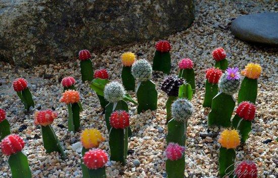 Phuket Botanic Garden: Кактусы-малыши..