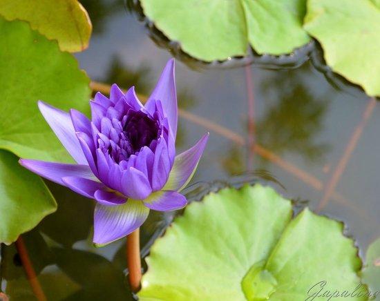 Phuket Botanic Garden: Сиреневая Кувшинка? Все, что в пруду, для меня кувшинки.