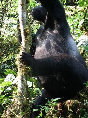 Bwindi Impenetrable National Park: Silverback climbing a tree