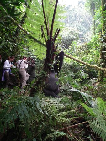 Bwindi Impenetrable National Park : Silverback falling with the broken tree