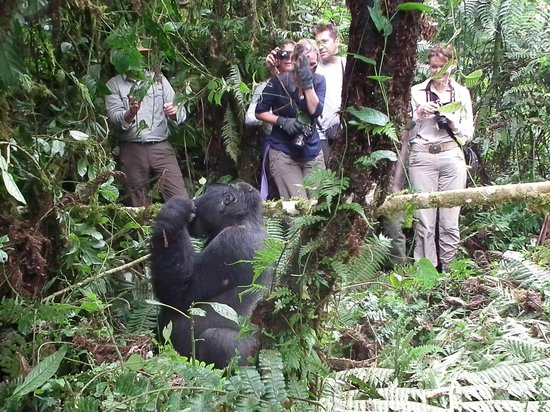 Bwindi Impenetrable National Park : Our group and the silverback