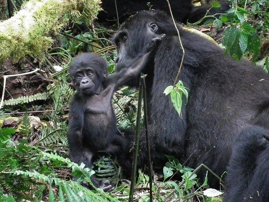 Bwindi Impenetrable National Park : baby gorilla