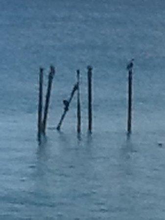 Tamarijn Aruba All Inclusive: pelicans