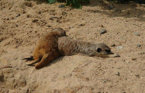 Prager Zoo: Сурикаты. )))