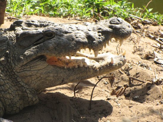 Crocodile Centre St Lucia: one of the inhabitants