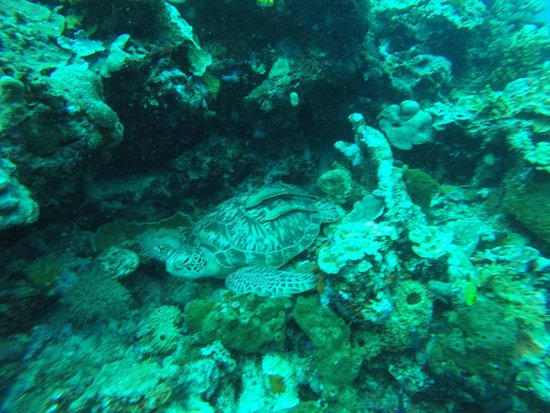Mamaling Resort Bunaken: schlafende Schildkröte  / sleeping turtle