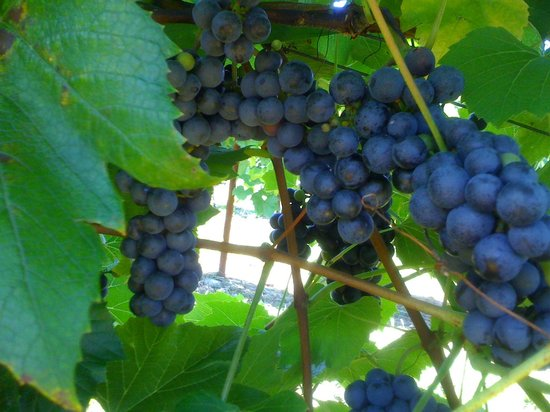 Maugle Sierra Vineyards: St. Croix Grapes