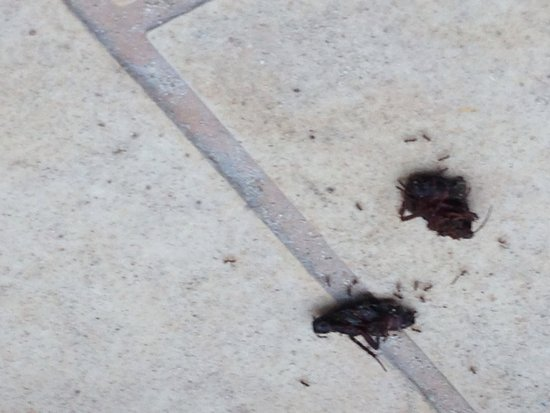 Hotel Condesa de la Bahia : Cockroaches by the pool. Been there all day