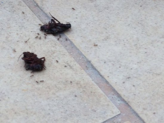 Hotel Condesa de la Bahia: Cockroaches by the pool. Been there all day