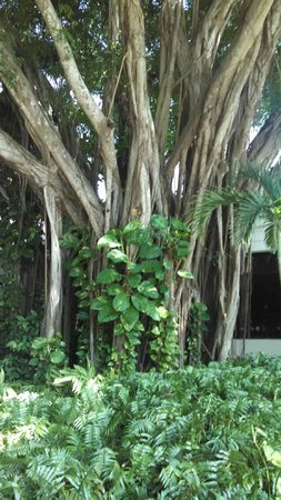 Bonaventure Resort & Spa: Banyan Tree