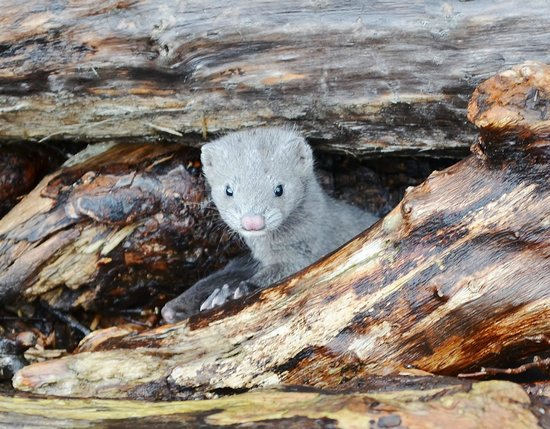 Inversnaid Hotel : you can see this mink outside the hotel hiding among the wood log