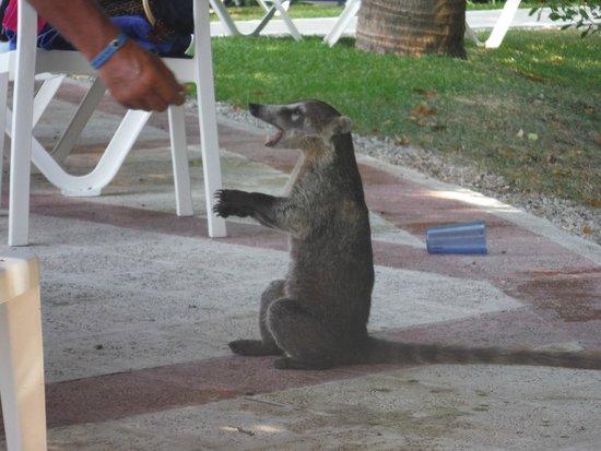 Grand Bahia Principe Coba : nos amis les coatis