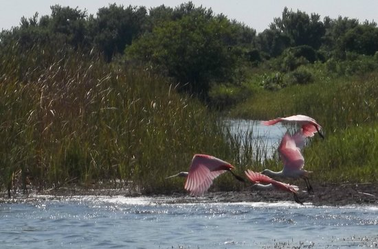 Airboats & Alligators: Roseatte Spoonbills at Lake Trafford