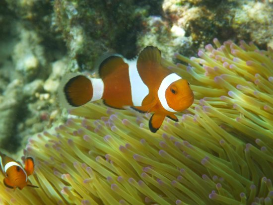 Bubbles Dive Centre and Resort: Plenty of clownfishes can be ticked from Bubbles' beach