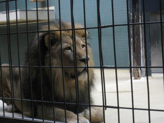 Berlin Zoological Garden : Lion