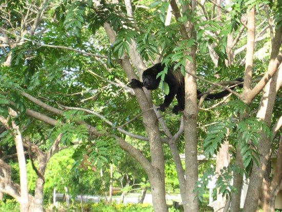 The Westin Golf Resort & Spa, Playa Conchal: Howler Monkey in Tree