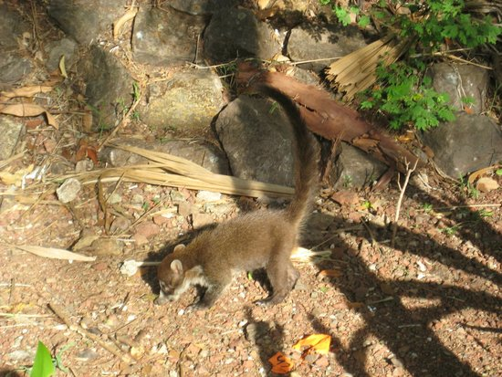 The Westin Golf Resort & Spa, Playa Conchal: White-Tailed Coati