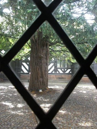 Aincient Yew Trees