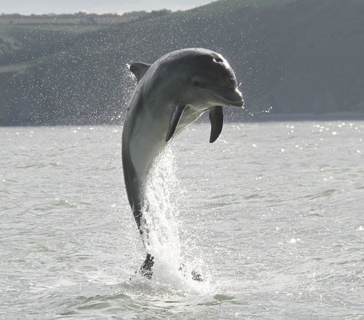 New Quay, UK: Bottlenose Dolphin
