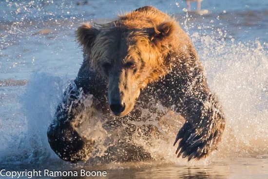 Great Alaska Adventures: Grizzly looking for salmon