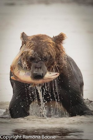 Great Alaska Adventures : Grizzly catching salmon