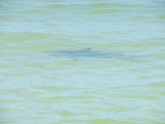 Cape San Blas : Shark