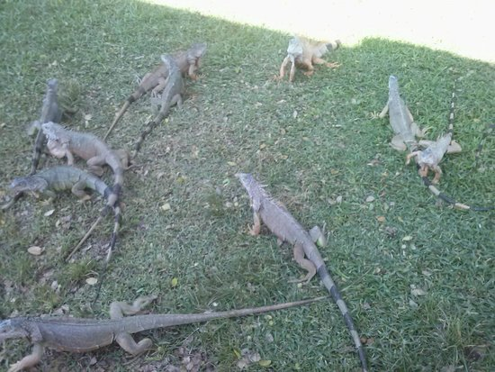 Royal Decameron Complex: Iguanas